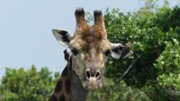 GiraffeW